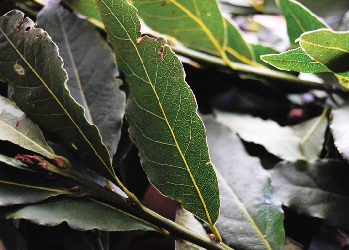 How to dry laurel leaves
